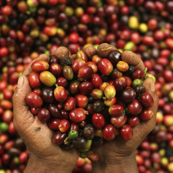 قیمت قهوه اندونزی